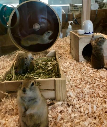 Chipmunks at Harry Zoo Cafe Harajuku Tokyo