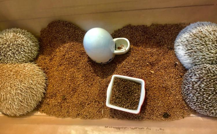 Hedgehogs Harry Zoo Cafe Harajuku Tokyo