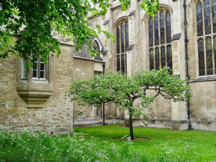 Isaac Newton's Apple Tree Trinity College Cambridge.